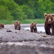 Бурая медведица и медвежата: История одной рыбалки