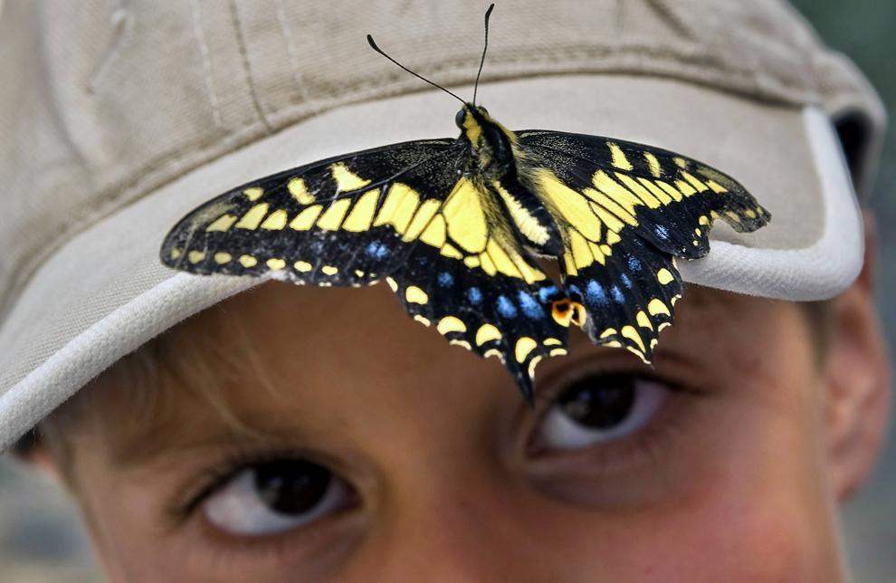 Данаида монарх сидит на козырьке кепки 7-летнего Энтони Смита (Anthony Smith) на ежегодной выставке Bugs & Butterflies at Riley в Riley Wilderness Park в Кото-де-Каза, Калифорния, США, 3 июня 2012 года.