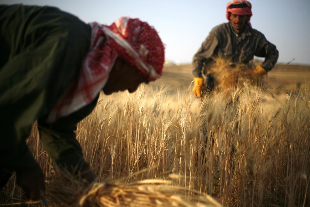 69-летний Халеда аль Аббади (Khalefa al Abbadi) и 50-летний Фалах аль Аббади (Falah al Abbadi) собирают урожай пшеницы на окраине Аммана, Иордания, 16 июня 2012 года.