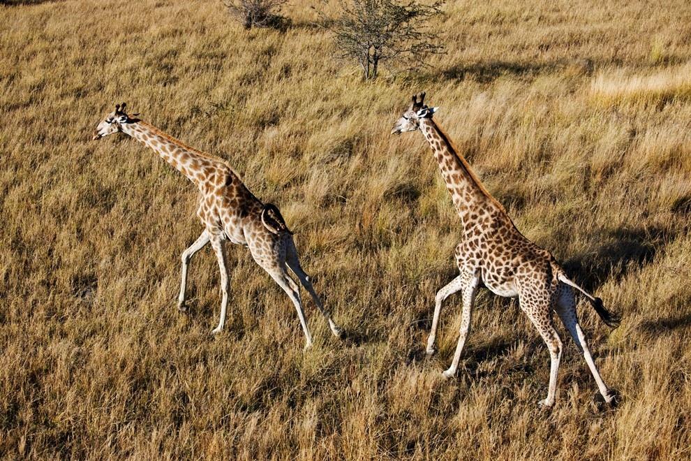Жирафы в дельте реки Окаванго, Ботсвана.