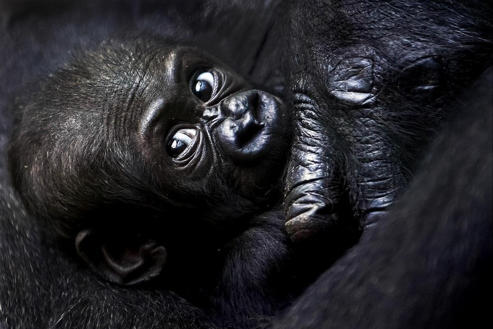 Детеныш западной равнинной гориллы по кличке Мавимби лежит в обьятьях своей матери Мамиту в Цюрихском зоопарке, Швейцария.