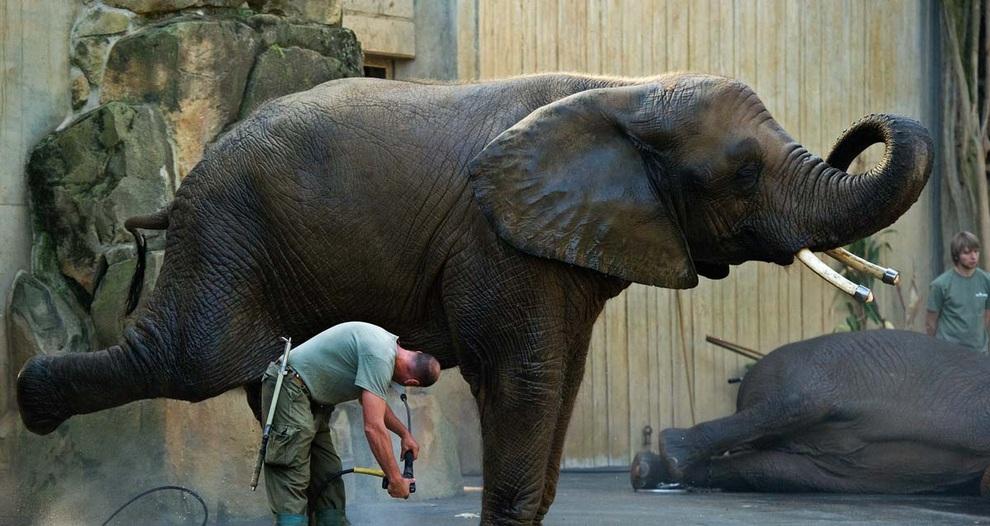 Райнер Краут (Rainer Kraut) моет живот слона по кличке Драмбо в Дрезденском зоопарке, Германия.