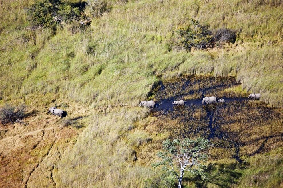 Африканские слоны в дельте реки Окаванго, Ботсвана.