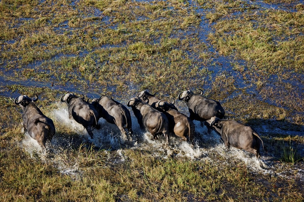 Африканский буйвол в дельте реки Окаванго, Ботсвана.