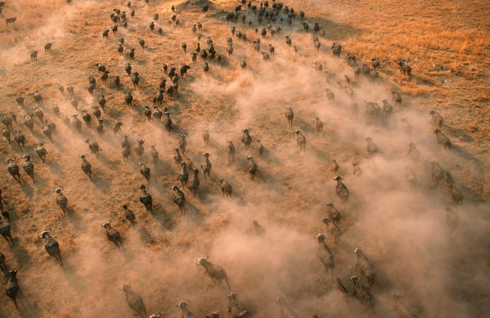 Стадо буйволов в дельте реки Окаванго, Ботсвана.