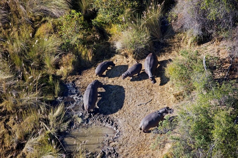 Бегемоты в дельте реки Окаванго, Ботсвана.