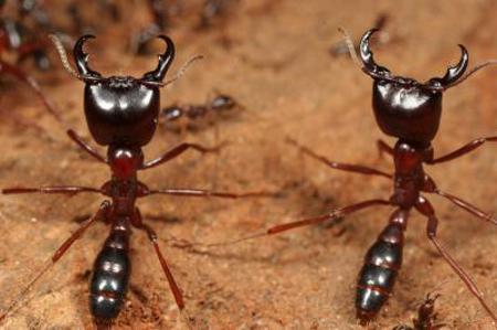 муравьи-солдаты