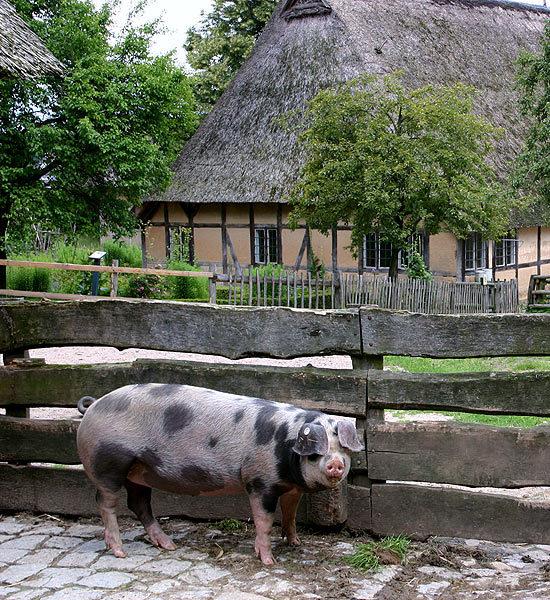 тайская свиноферма