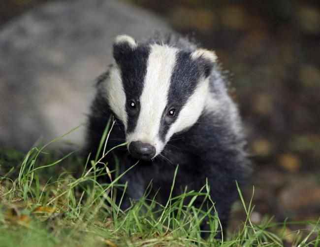 badger1908098661