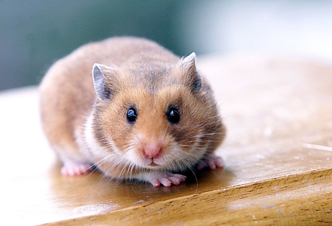 Hamster made to pay on Bus