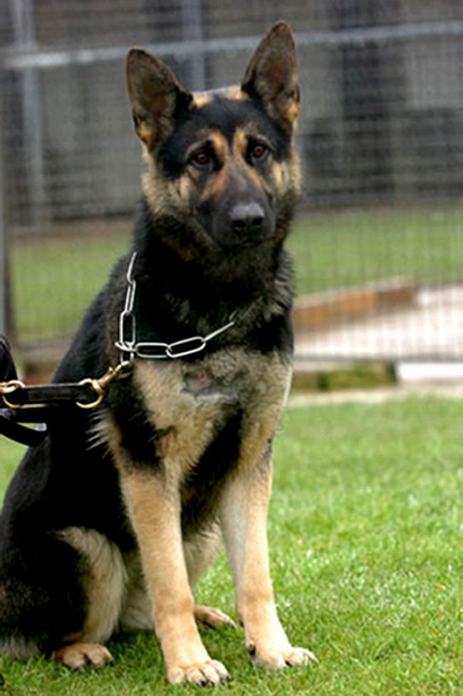 Anya the police dog