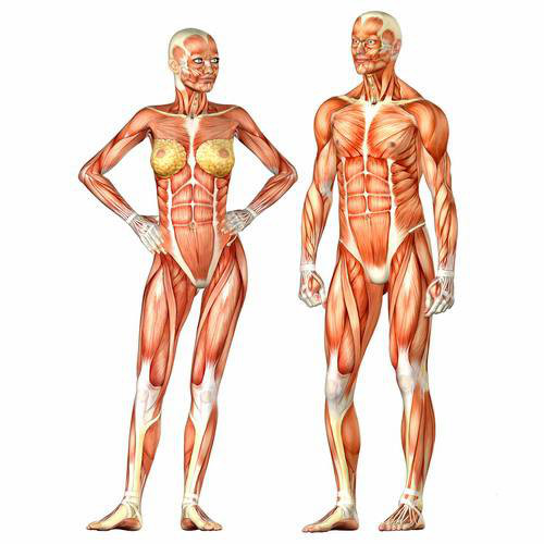 Мужчина vs. Женщина BroDude.ru 1302770025 anatomy1