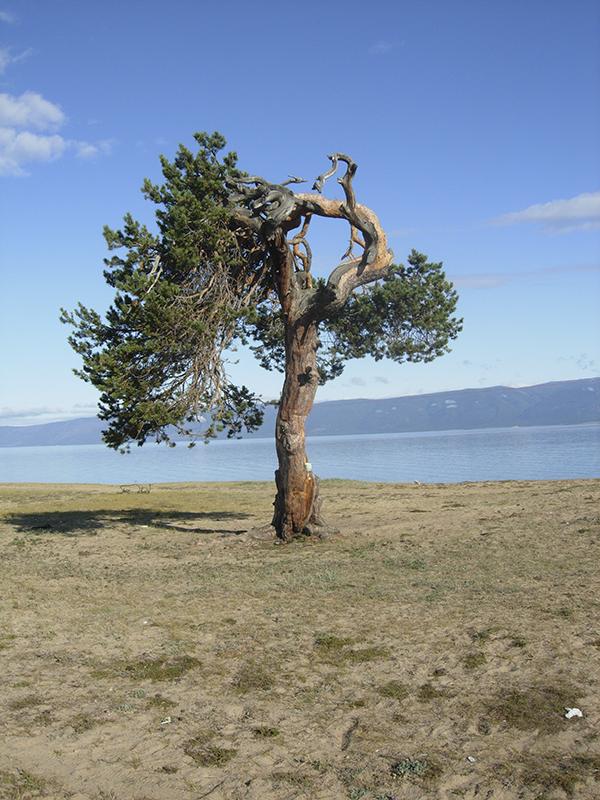 Из-за ветров деревья обретают причудливую форму