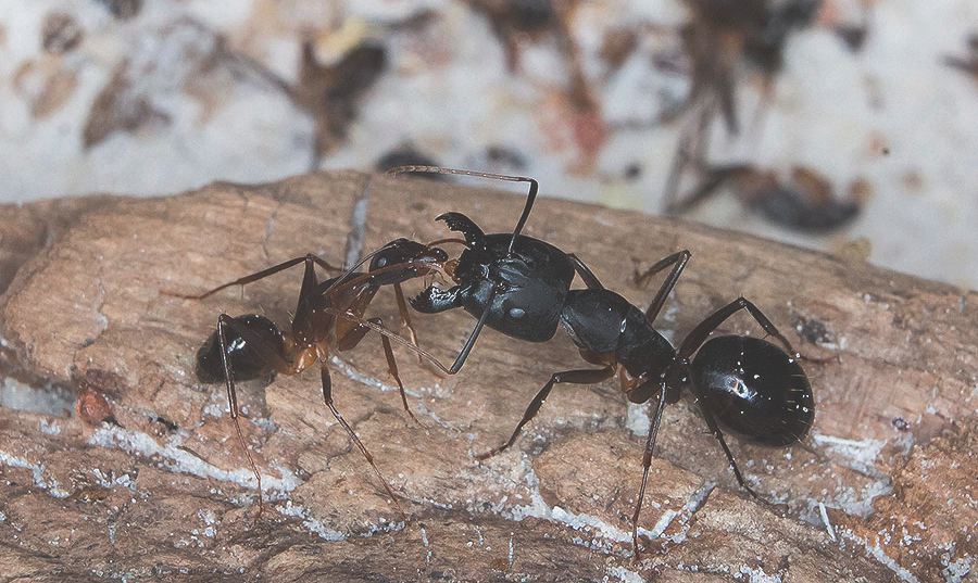 муравьиная ферма